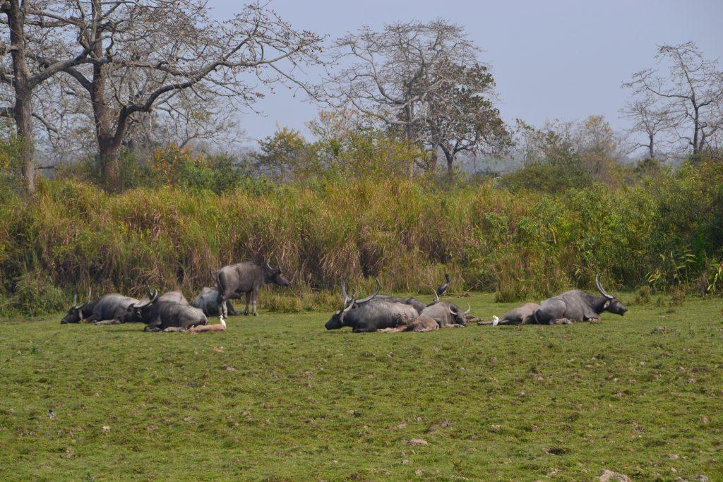 Búfalos relajados