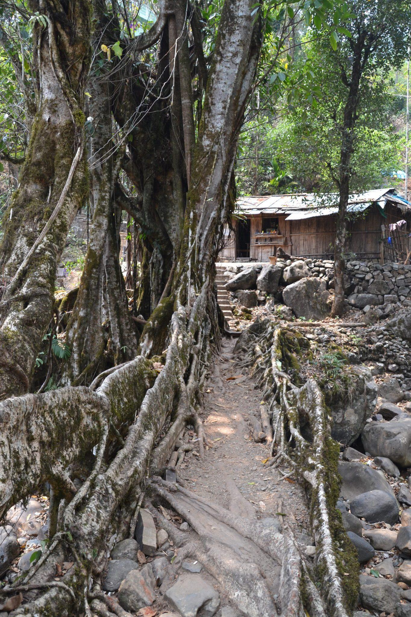 Primer puente de raíces de árboles que encontráras en Nongriat. Lo mejor está por llegar