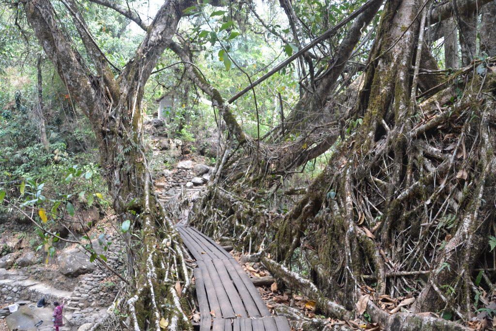 Vista de un puente de raiz desde su pasarela de paso